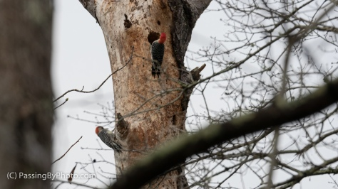 Pair of Red-bellied Woodpeckers in Tree