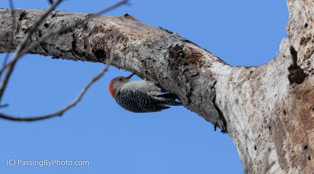 Red-bellied Woodpecker in Tree