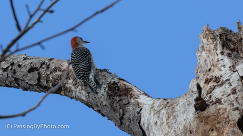 Red-bellied Woodpecker in Tree