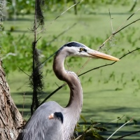 Great Blue Heron with Cypress Knees