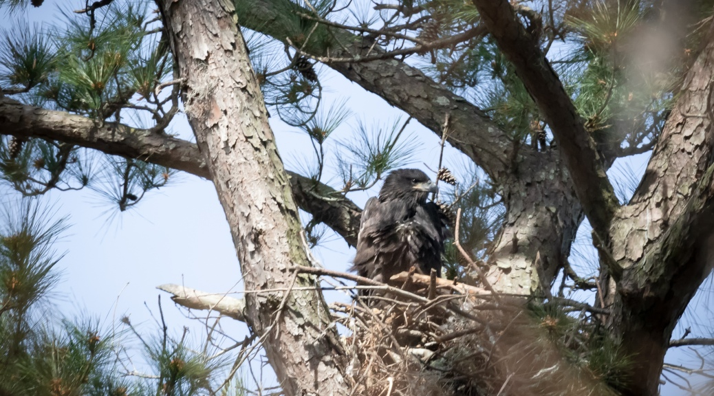 Juvenile Eagle, March 8
