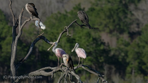 Roseate Spoonbills, Double-crested Cormorant, Snowy Egret