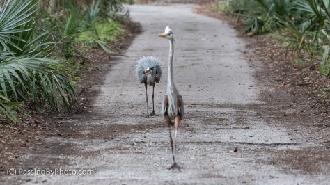 Great Blue Herons Puffed Up