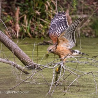 Red-shouldered Hawk Hunting