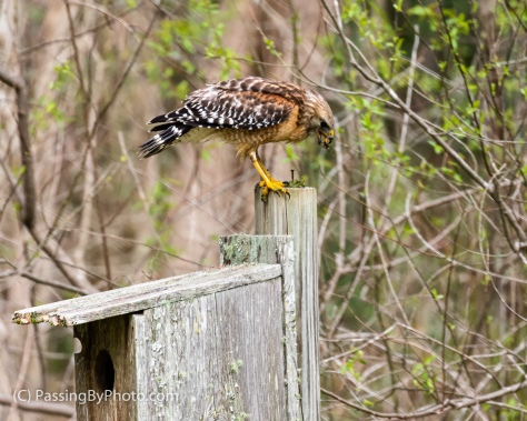 Red-shouldered Hawk Eating His Catch