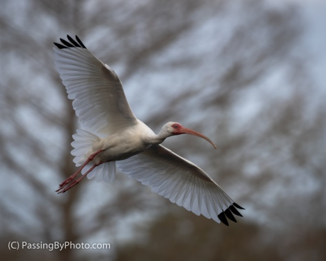 White Ibis Flying By