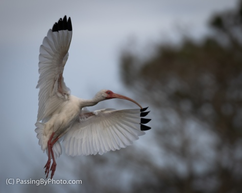 White Ibis Readying to Land