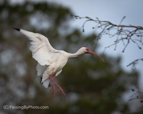 White Ibis Readying to Land