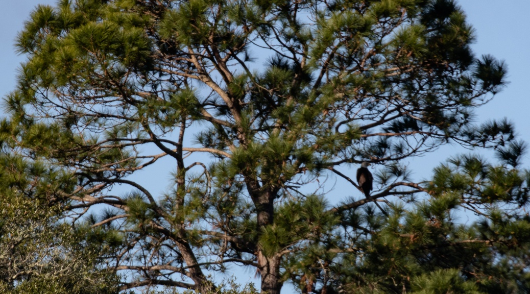 Pine Tree with Bald Eagle