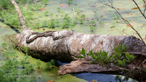Ribbon Snake on Log