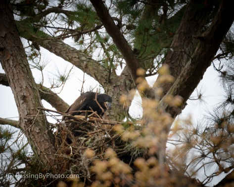 Juvenile Eagle, March 16