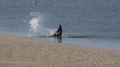 Dolphin Strand Feeding