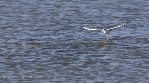 Bonaparte's Gull Fishing Around Dolphin