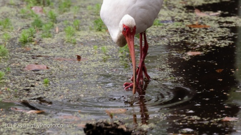 White Ibis in Swamp