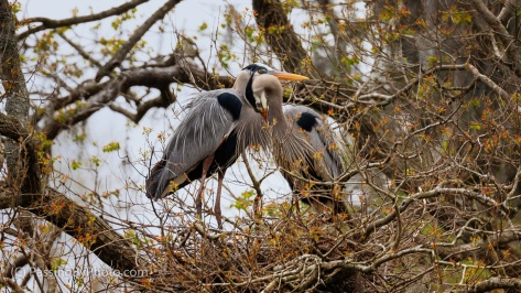 Great Blue Heron Pair
