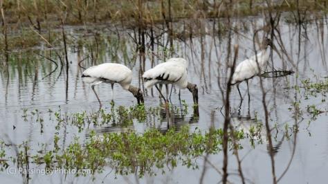 Wood Storks Feeding