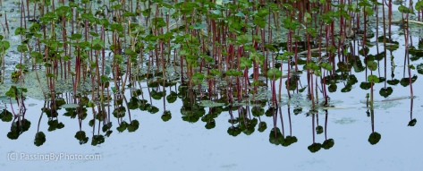 Pond Vegetation Reflections