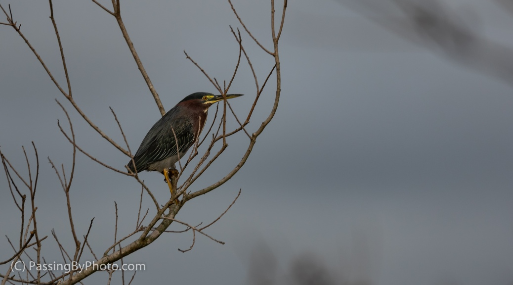 Green Heron in Limbs