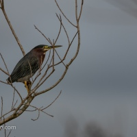 Green Heron, Times Three