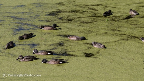 Blue Winged Teals Feeding on Duckweed
