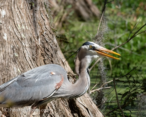 Great Blue Heron Swallowing Fish