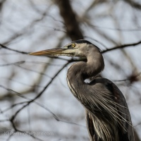 Great Blue Heron, Overhead