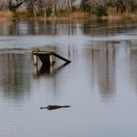 Pond, Turtle and Alligator