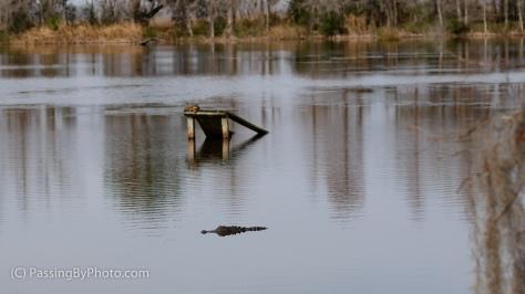 Pond, Turtle, Alligator