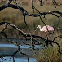 Roseate Spoonbills, Framed and Not