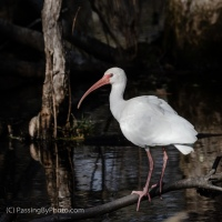 White Ibis, Working the Swamp