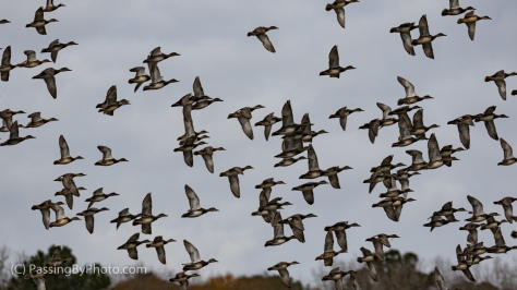 Flying Duck Flock