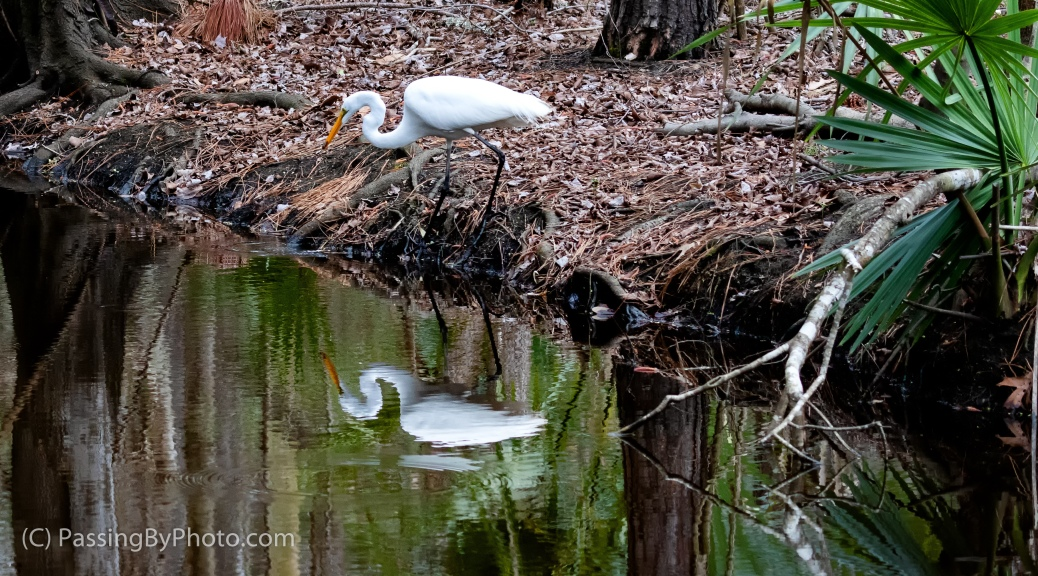 Great Egret Hunting Along a Stream