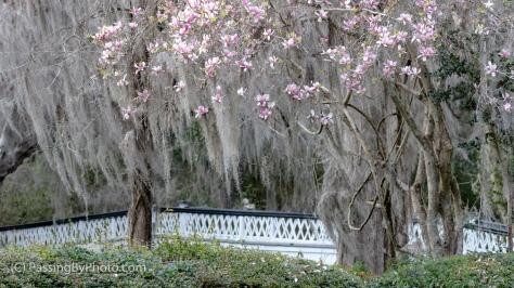Long White Bridge and Tulip Magnolia