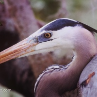 Great Blue Heron Up Close