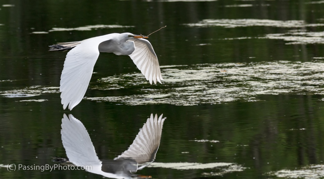 Great Egret Flying With Nest Material