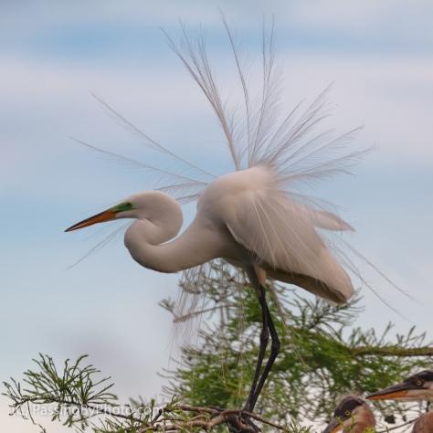 Great Egret Breeding Plumes