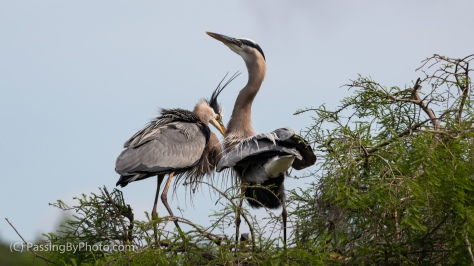 Great Blue Heron Pair Greeting