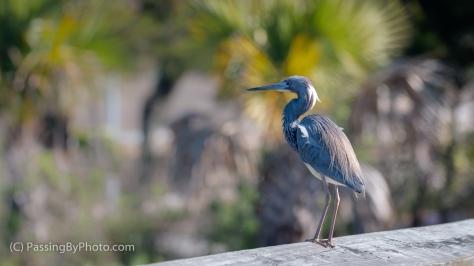 Little Blue Heron Standing on Railing