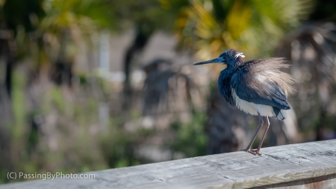 Little Blue Heron Ruffling on Railing