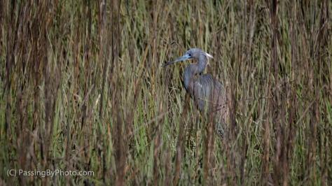 Little Blue Heron in Marsh Grass