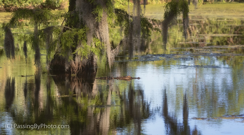 Alligator Swimming By Cypress Tree