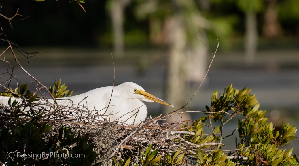 Great Egret on Nest