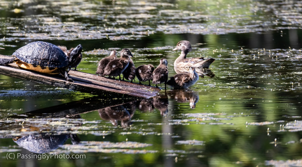 Wood Duck Chicks and Turtle