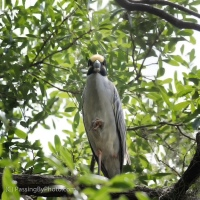 Yellow-crowned Night-heron Straight On