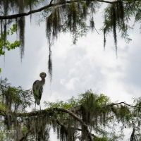 Great Blue Heron, High Perch
