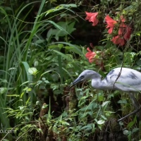 Juvenile Little Blue Heron Hunting