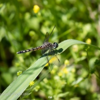Colorful Dragonfly Walk