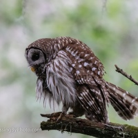 Barred Owl, After A Rain