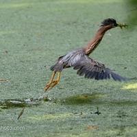 Green Heron Getting Dinner