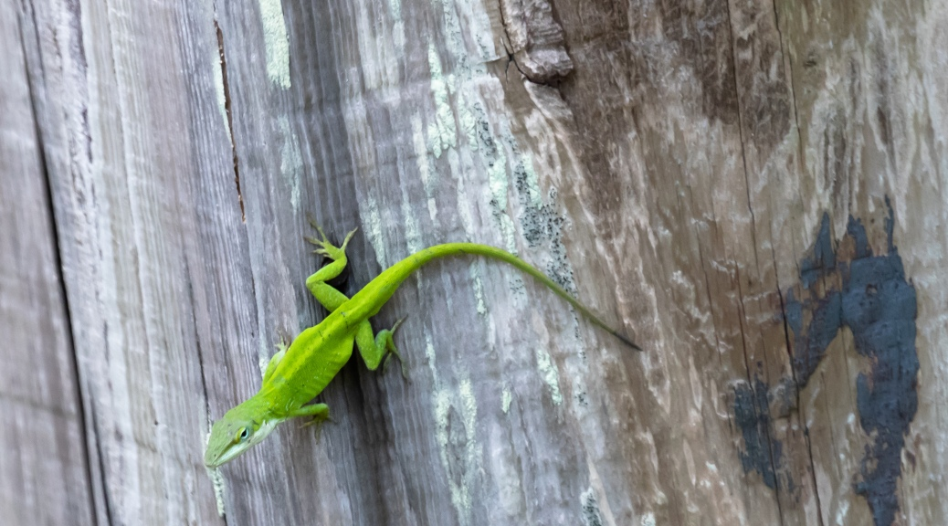 Anole on Wood Duck Box